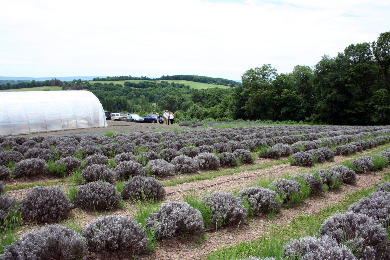 Hope Hill Lavender Farm, Pottsville, PA – 48.3 Miles